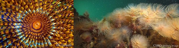 """Fotografías del poliqueto Sabella spallanzanii, un gusano del Mediterráneo que se caracteriza por sus vistosas branquias en espiral que hacen que se le denomine coloquialmente como """"Plumero de mar""""."""